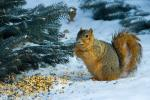 Squirrel Loiters Around Birdseed Near Spruce Tree In Winter animaux provenant de Ecureuil