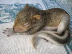 Tiny Baby Squirrel Rests On Coarsely Knitted Rug animaux provenant de Ecureuil