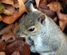 Candid close Shot of Grey Squirrel With Leaves In Background animaux provenant de Ecureuil