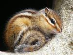 Curled-Up Striped Squirrel With Dramatic Black Eye Rests In Niche animaux provenant de Ecureuil