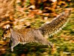 Extended Squirrel Caught In Mid-Jump With Blurred Background animaux provenant de Ecureuil
