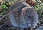 Brown Rat Eating Caught In Moment By Zoom Lens animaux provenant de Rat