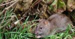 Nice Photo Of Rat Filling Just About Half Of The Frame Horizontally animaux provenant de Rat