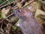 Inquisitive Rat Looks Towards Background In Natural Environment animaux provenant de Rat