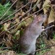 Wild Rat Seen from Side And Slightly Behind Looking At Something To Right Of Photo animaux provenant de Rat