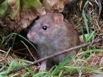 Wild Rat Photographed In Outdoor Grass And Decayed Leaves animaux provenant de Rat