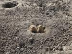 Two Prairie Dogs Guard One Entrance To Town In Very Crumbly Dirt animaux provenant de Chien de prairie