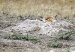 Three Prairie Dogs With Black Tipped Tails Crouch Down In Entrance To Burrow animaux provenant de Chien de prairie