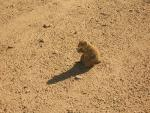 Wide Shot Of Lonely Prairie Dog In Harsh Texas Sun animaux provenant de Chien de prairie