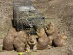 Large Group Of Prairie Dogs Eats Food Near Threshold Of Wire Trap animaux provenant de Chien de prairie