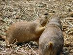 One Prairie dog Kisses The Face Of Another Prairie Dog animaux provenant de Chien de prairie