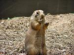 Furrt Tan Prairie Dog Nibbles On Straw Held In Right Front Paw animaux provenant de Chien de prairie