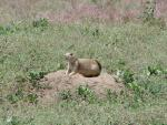 Prairie Dog Stand On Four Legs On Top Of Mound In Scrubby Western Grass And Weeds animaux provenant de Chien de prairie