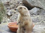 Well-Groomed Prairie Dog Sits Next To Terracotta Water Bowl In UK Zoo animaux provenant de Chien de prairie