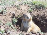 A Prairie Dog Who Looks Proud Of His Underground Home animaux provenant de Chien de prairie