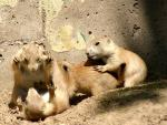 Four Prairie Dogs Battle Ferociously By Concrete animaux With Fading Paint animaux provenant de Chien de prairie