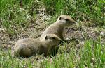 Two Small Prairie Dogs Look At Something With Refined Faces And Distinct Black Eyes animaux provenant de Chien de prairie