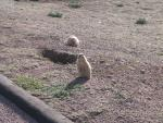 Two Prairie Dogs Near Burrow, One Laying Down, Another Standing Up Looking At Cameraman's Companions animaux de                   Egléa91 provenant de Chien de prairie