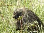 Porcupine Looks Suspiciously At Photographer While Sitting In Tall Grass animaux provenant de Porc-épic