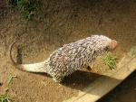 Pink Nosed Porcupine With Light Colored Quills Stands On Back Feet And Raises Front Paws In Air animaux provenant de Porc-épic