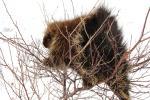 Porcupine Gets Bristles Mashed Up In A Bush, Has Sweet Face animaux provenant de Porc-épic