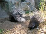 Two Black Porcupines With Extended White Bristles In Zoo Habitat With Rock animaux animaux provenant de Porc-épic