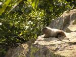 Relaxed Marmot Rests On Bould Near Lush Green Leafy Plants animaux provenant de Marmotte