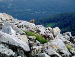 Wide Picture of Marmot In White Boulder Field On Slope Of Wyoming Mountain animaux de                   Jacquemine68 provenant de Marmotte