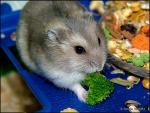 Hamster On Blue Plastic Chomps A Little Broccoli Florette animaux provenant de Hamster