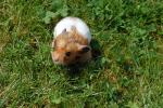 Tand White Hamster In Grass Has A Defiant Look On His Face animaux provenant de Hamster