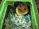 Hamster On Shredded Paper Bed Inside Green Tinted Plastic Habitat animaux provenant de Hamster