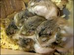A Pile Of About Ten Sleeping Hamsters With White Bellies animaux provenant de Hamster