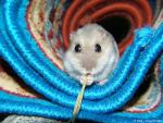Grey Hamster Inside Brightly Colored Rolled Carpet And Nibbles Ribbon animaux provenant de Porc