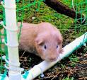 Guilty Guinea Pig Caught Crawling Through Hole In Plastic Mesh Cage animaux provenant de Porc