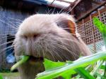 Close Up Of Dandilion Greens Disappearing Down Guinea Pig's Open Mouth animaux de                   Dahud38 provenant de Porc