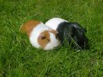 Two Differently Colored Guinea Pigs Lie Down Together In Grass animaux provenant de Porc