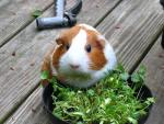 Cute Guinea Pig With Large Black Eyes Snacks On Cilantro Herb On Ddeck animaux provenant de Porc