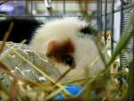 A Mostly White Guinea Pig With Orange And Black Patches In Cage With Straw animaux provenant de Porc