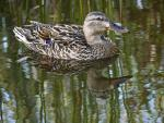 Nice Shot Of Mallard With Varigated Color Feathers animaux provenant de Colvert
