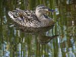 Clear Shot Of Mallard Duck Floating On Reflective Water animaux provenant de Colvert