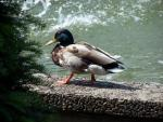 The Ubiquitous Mallard Can Be Found In All Walks Of Life animaux provenant de Colvert