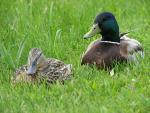 Nice Closeup Of A Mallard Couple In Grass animaux provenant de Colvert