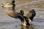 The Beautifully Coloured Common Mallard Flaps Upon Landing In The Water animaux provenant de Colvert