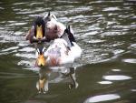 Mallard Ducks Keeping Each Other Company animaux provenant de Colvert