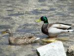 A Brightly Colored Mallard Drake And His Plain Mate animaux provenant de Colvert