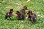 Mallard Ducklings Hanging Out In The Grass Together animaux provenant de Colvert