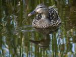 The Sharp Detail Allows Us To See The Magnificent Beauty Of This Female Mallord Duck animaux provenant de Colvert