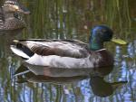 These Beautiful Pair Of Mallards Look Shimmering Against The Reflective Water animaux provenant de Colvert