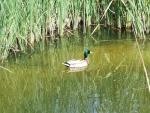 A Mallard Relaxes In The Reeds animaux provenant de Colvert