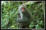 Macaque With Almost-Closed Eyes Protects Baby animaux provenant de Macaque
